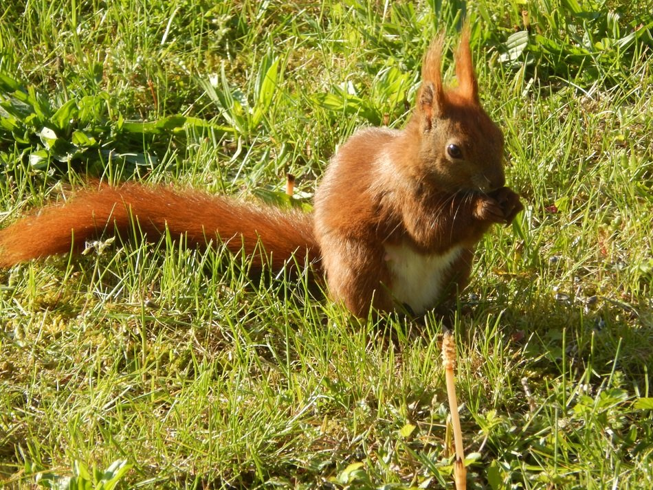 eating furry red squirrel