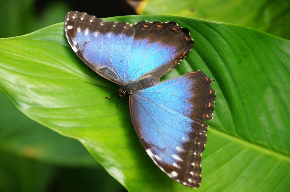 charming blue brown butterfly on the green leaf