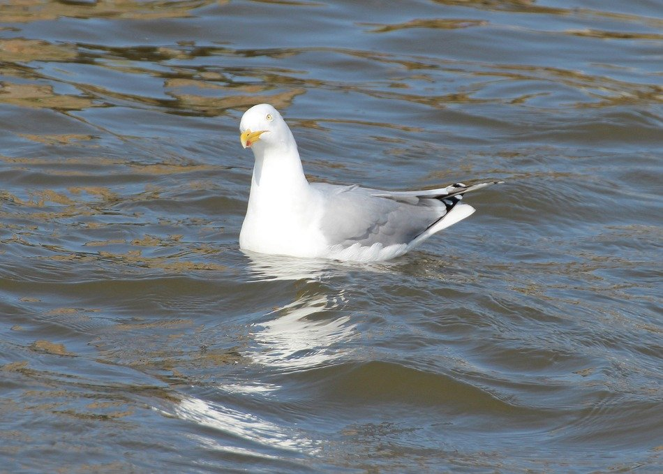 floating herring gull