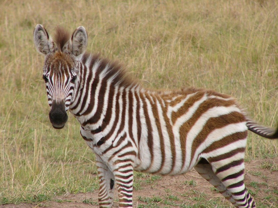 striped zebra during African safari