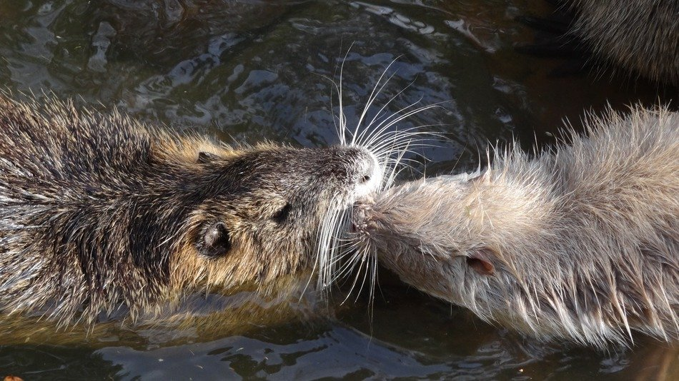 faminly of nutria
