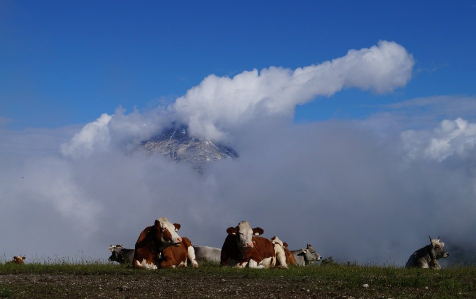 cows resting in alpine mountains
