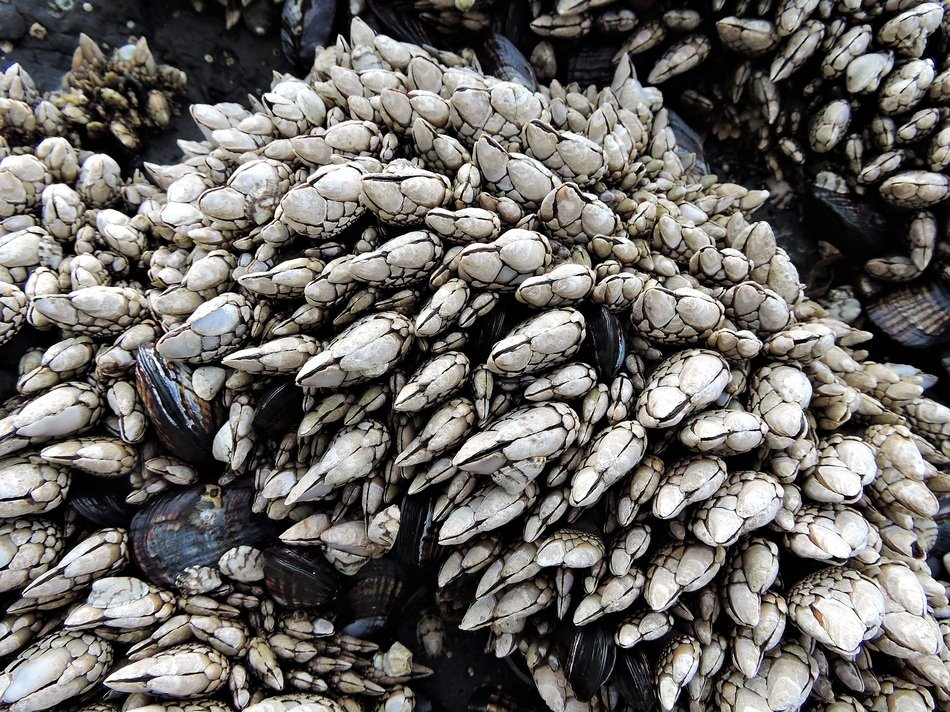 barnacles on the coast