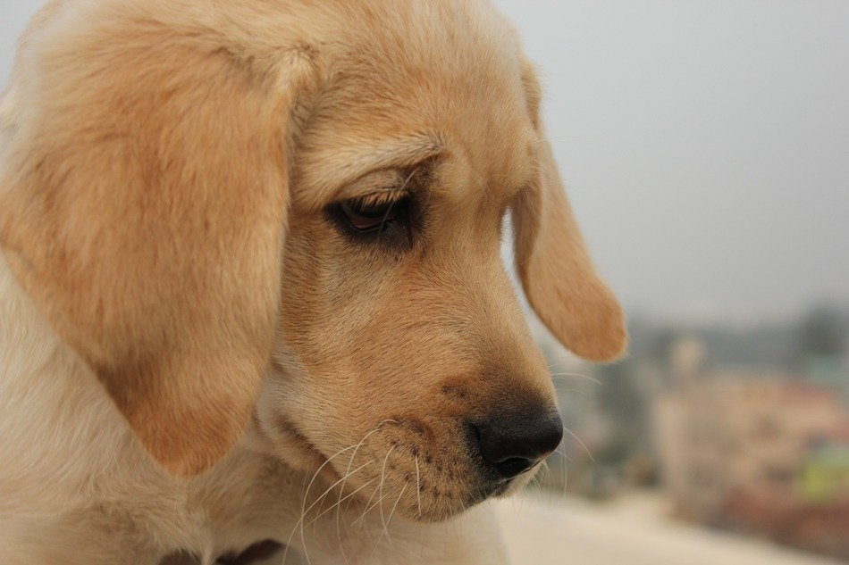 cute puppy Dog Looking down, golden Labrador