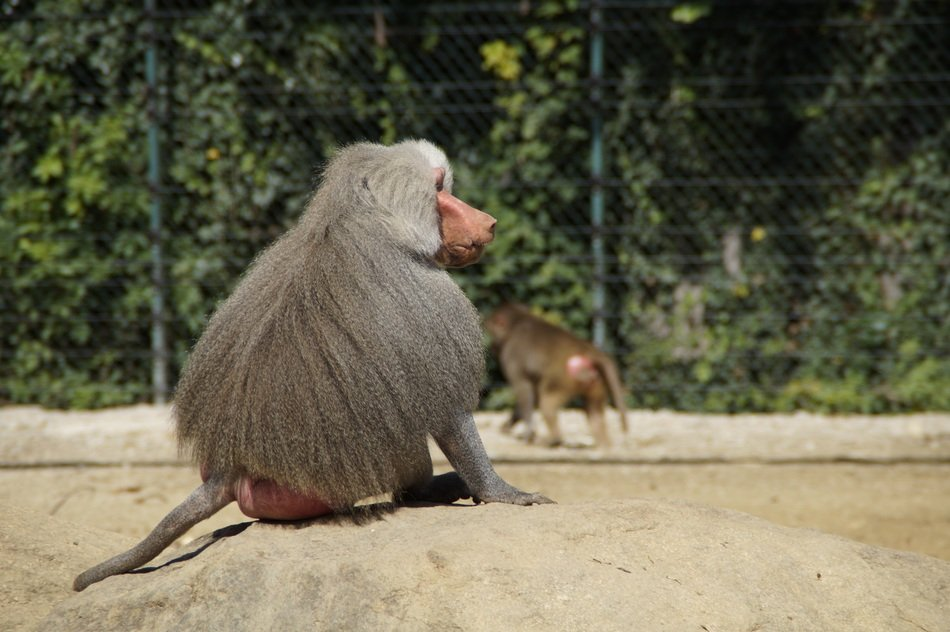 furry baboon in the zoo