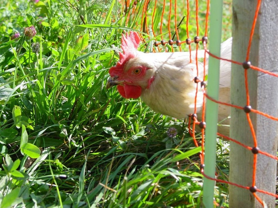 chicken behind a fence on green grass