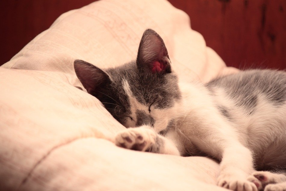 domestic cat sleeping on the pillow