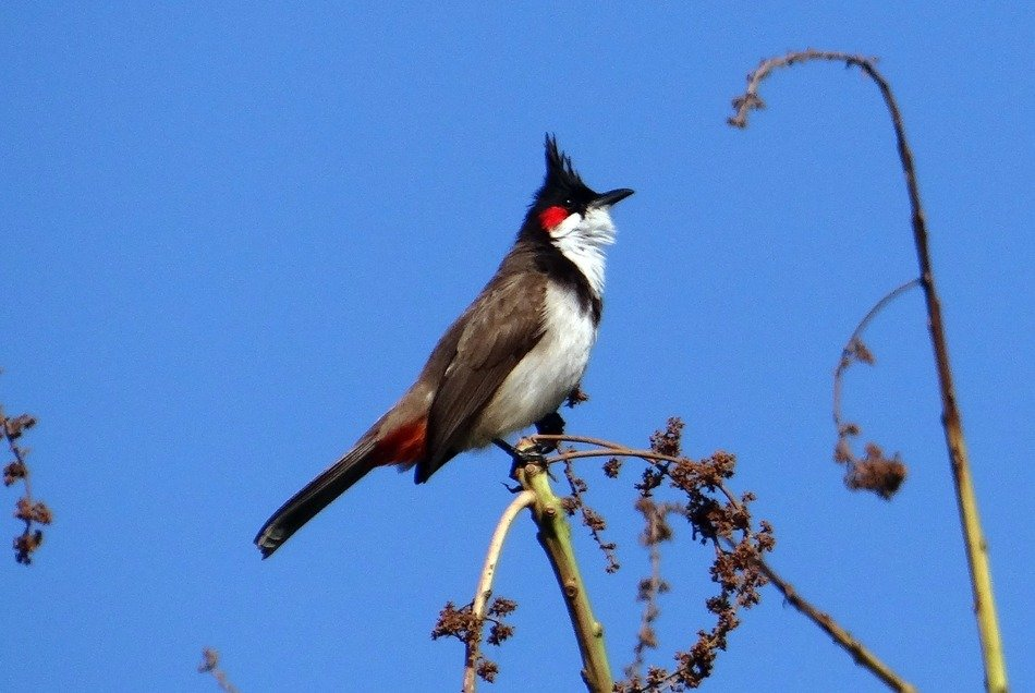 red-whiskered bulbul in wildlife