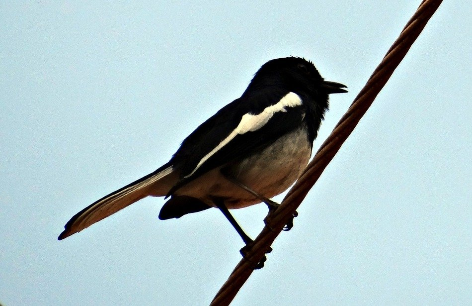 perched oriental magpie-robin