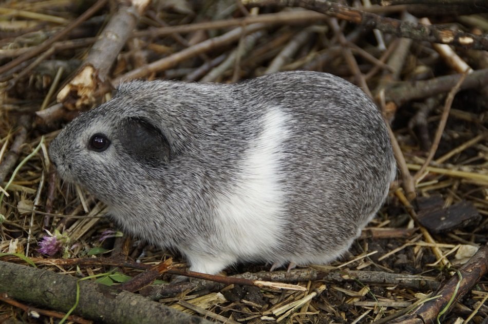 grey and white guinea pig
