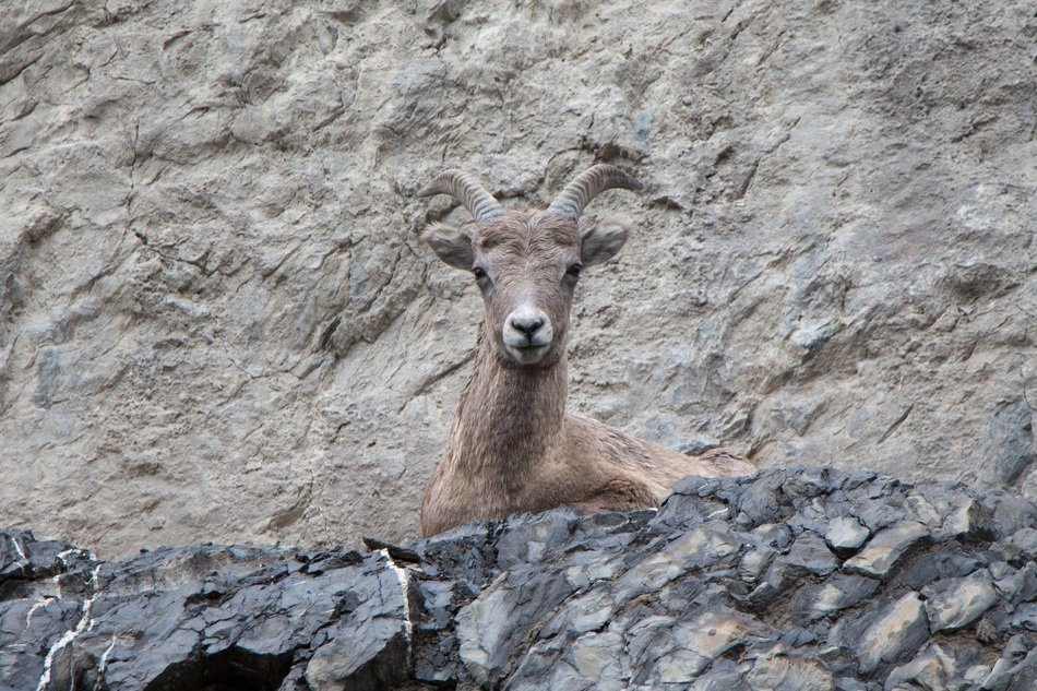 mountain goat in wildlife