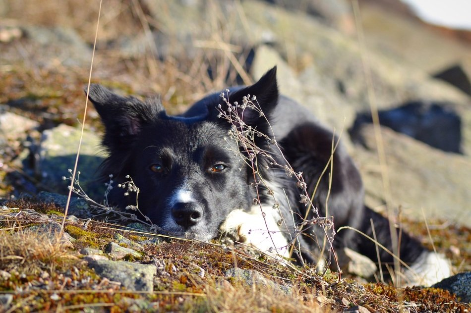 resting border collie