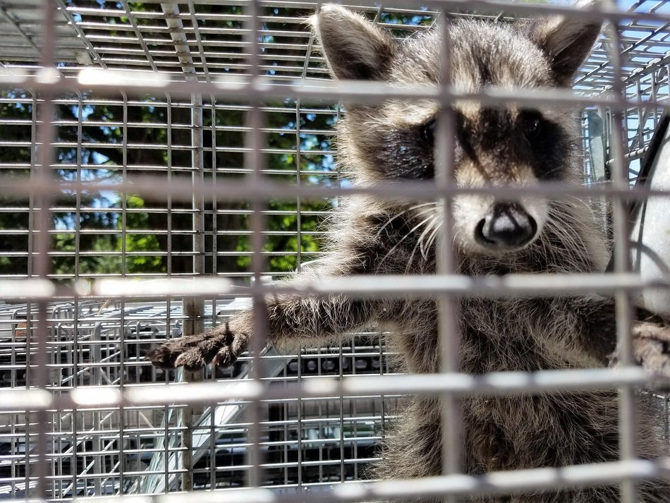 encaged raccoon