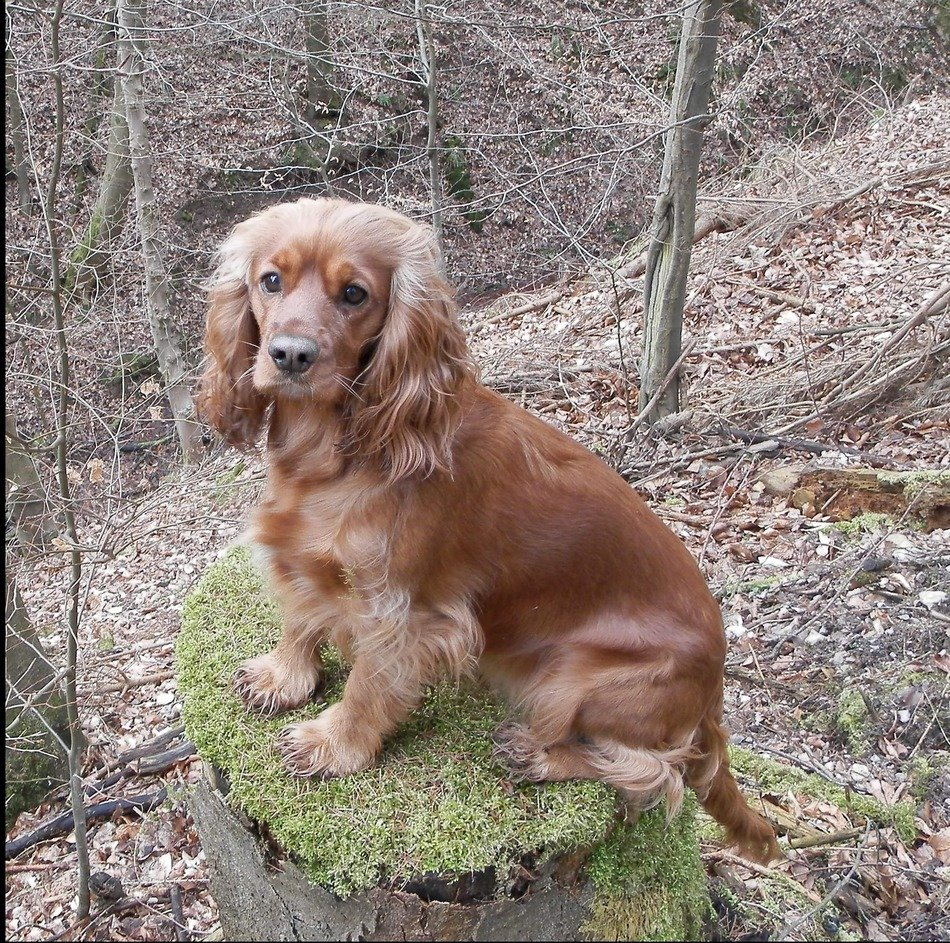 red cocker spaniel in the forest