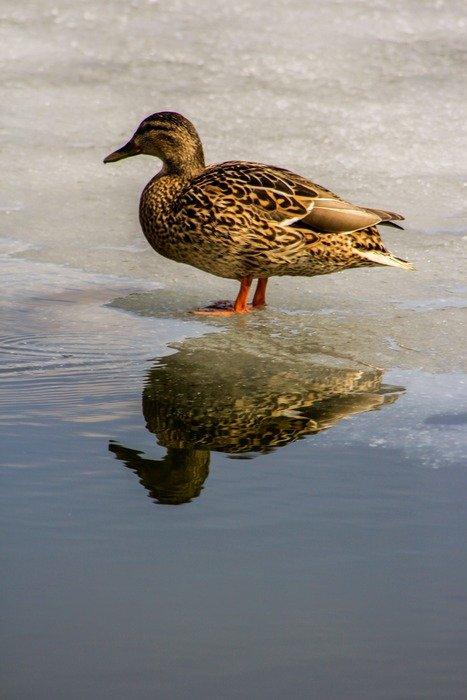 wild duck on the frozen pond