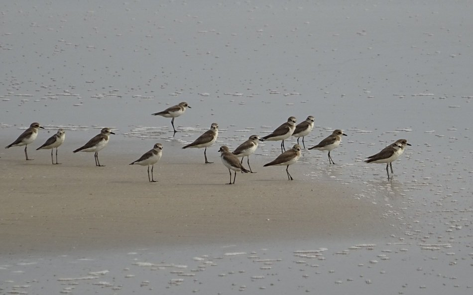 lesser sand plover on the beach in india