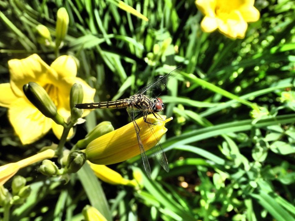 dragonfly on the yellow flower