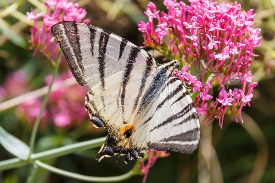 black and white butterfly on the pink flower
