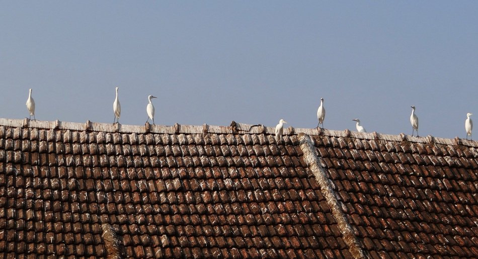little egrets on the rooftop