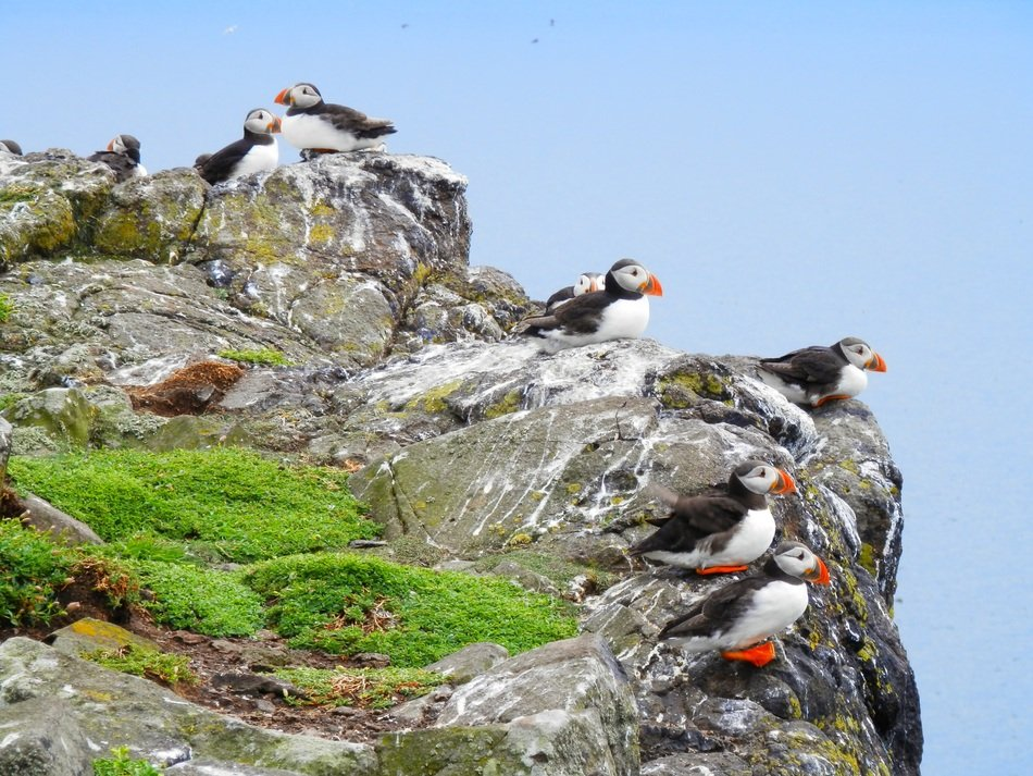 puffins sitting on the cliff