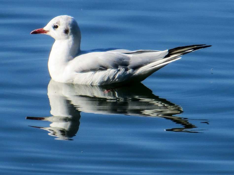 seagull on the mirroring water