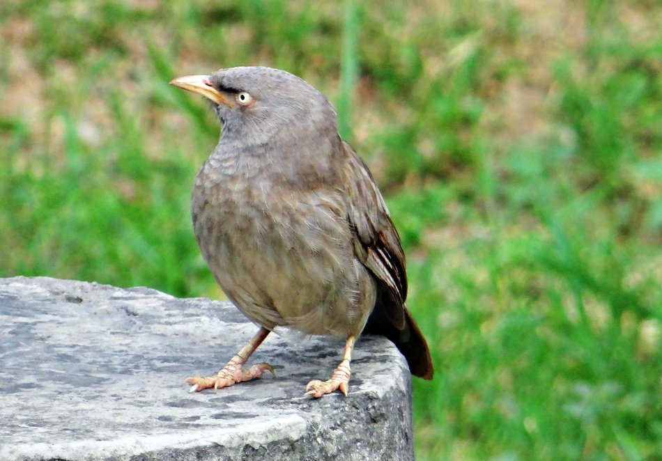 jungle babbler in wildlife