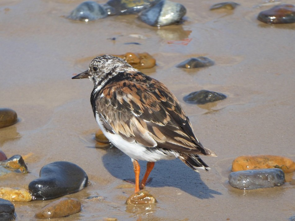 turnstone stands on pebbles in a pond