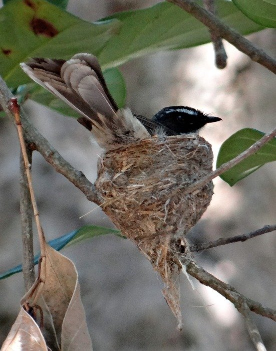 nesting white-throated fantail flycatcher