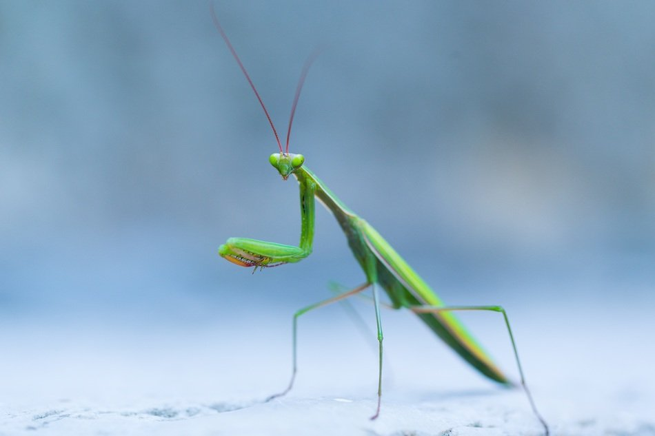 delightful Wild Praying Mantis