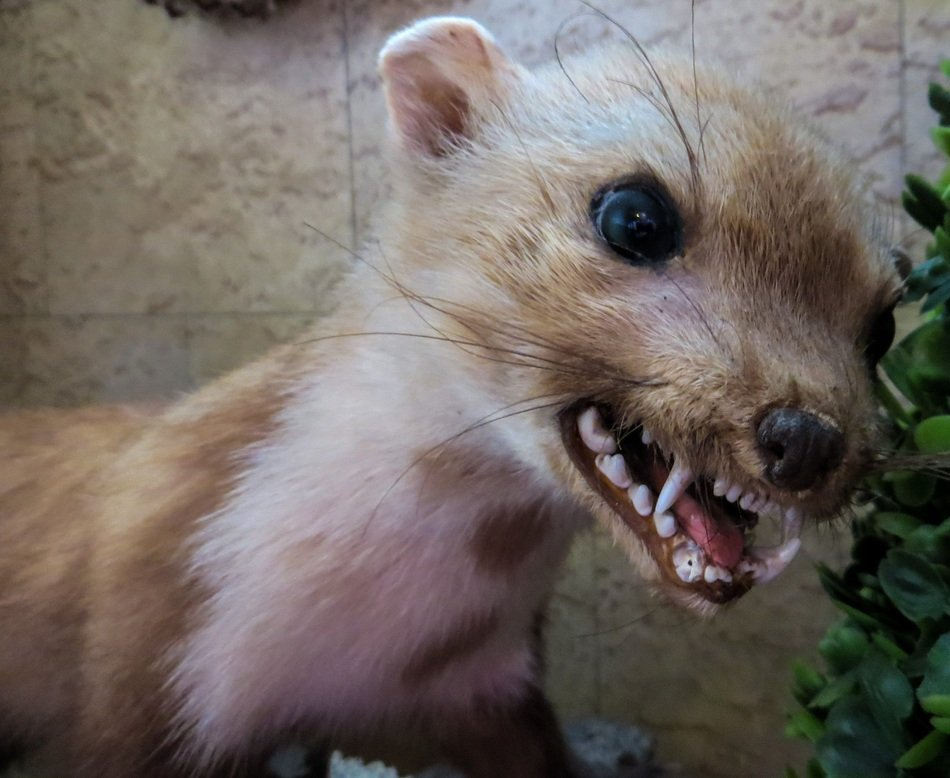 portrait of a ferocious marten