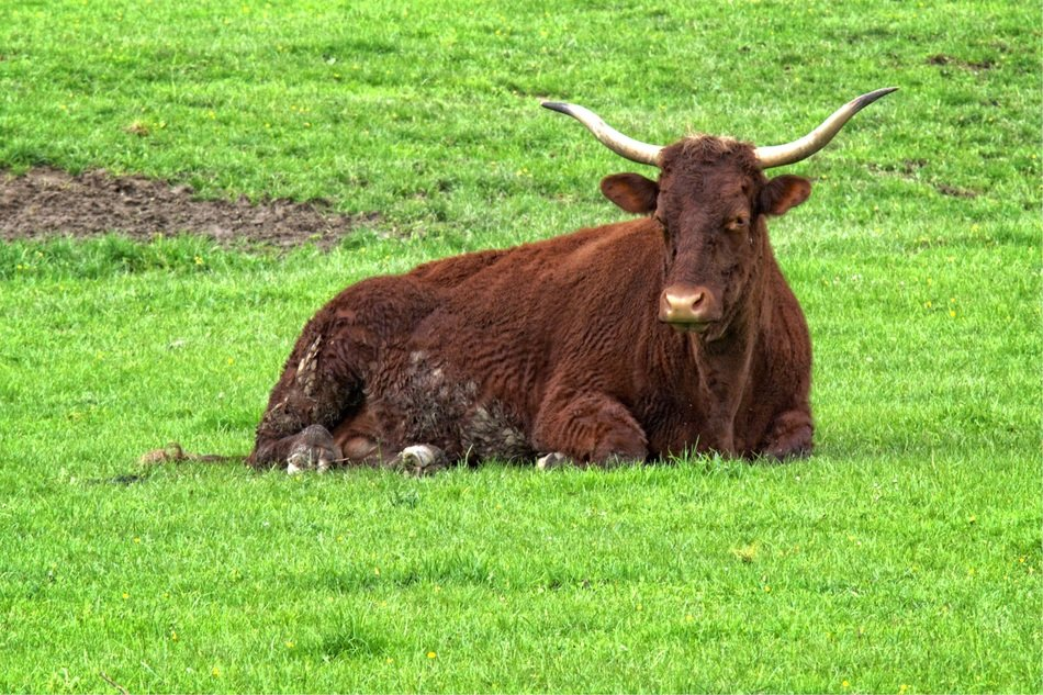 relaxed beef on the green pasture