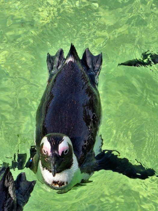 swimming penguin in South Africa