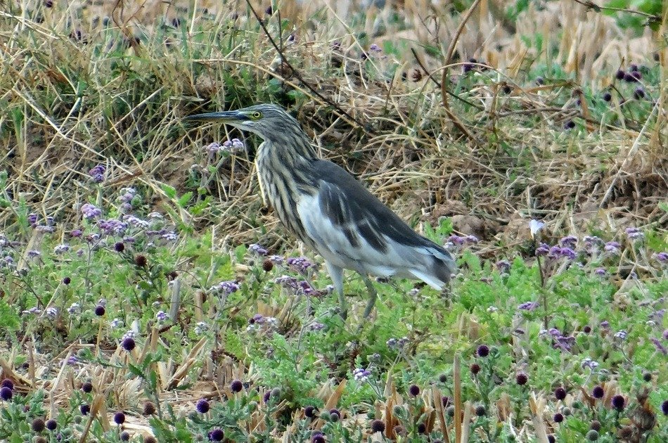 Pond Heron on the grass in India