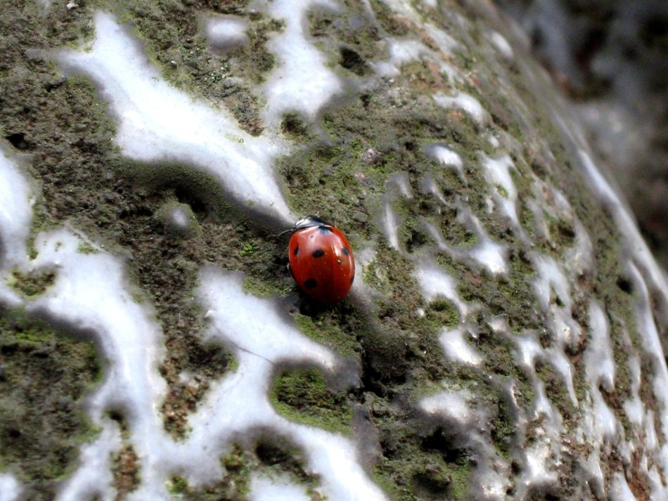 Red with black Dots Ladybug on stone