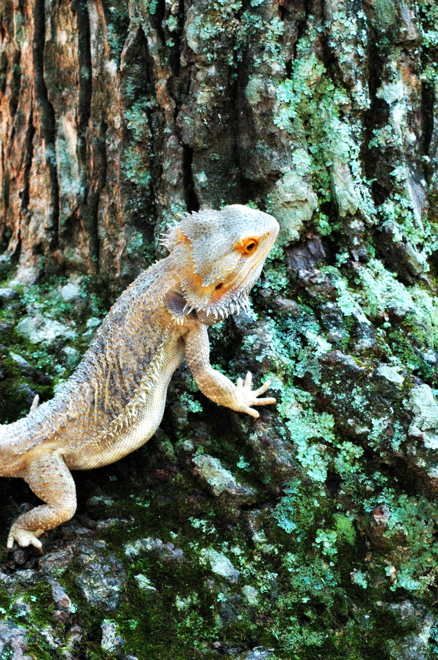 bearded lizard pictures - HD 1450×2182