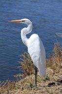 Egret Great White Bird