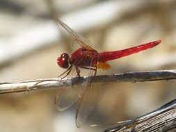 red dragonfly in wetland closeup of a
