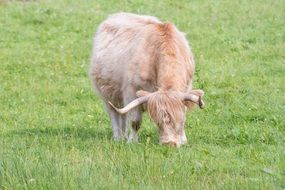 Highland-Rinder eating grass in a pasture