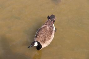 wild waterfowl duck