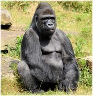 sitting gorilla in the zoo