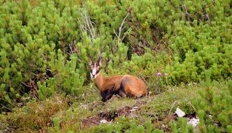 delightful Chamois Mountain Animal