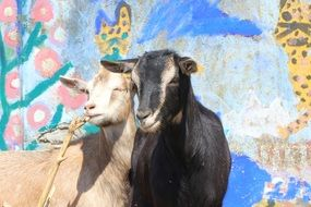 goats stand near the wall with graffiti