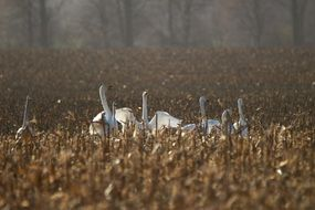 wild whopper swans in late autumn