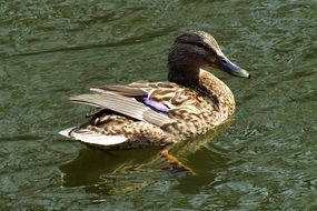mallard is a waterfowl