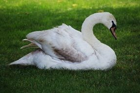 graceful white swan lying on the meadow