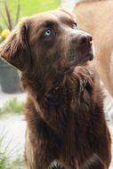 Chocolate Brown Dog