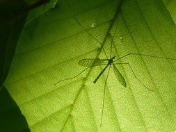 mosquito on a green leaf closeup