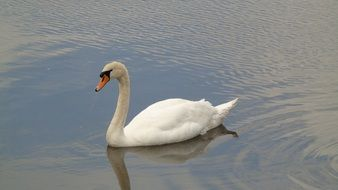 stately white swan in the wild