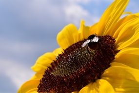 bee pollinates a sunflower