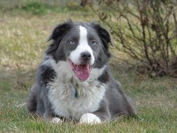 australian shepherd with sky blue eyes